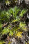 Saw Palmetto with Numerous Fronds