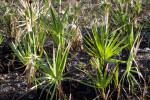 Saw Palmettos After Fire