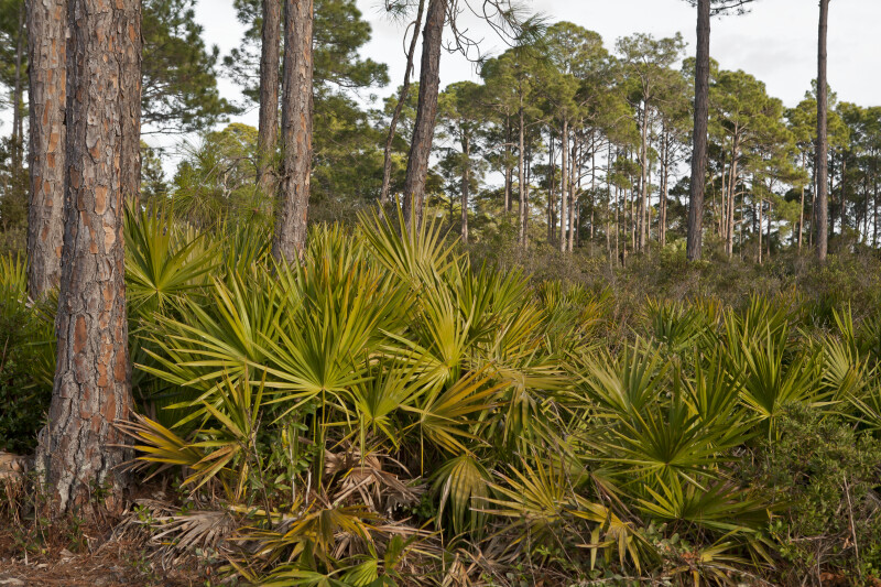 Saw Palmettos Amongst Pine Trees