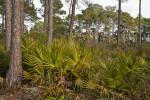 Saw Palmettos Amongst Pine Trees