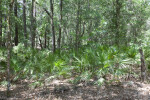 Saw Palmettos Amongst Taller Trees at Chinsegut Wildlife and Environmental Area