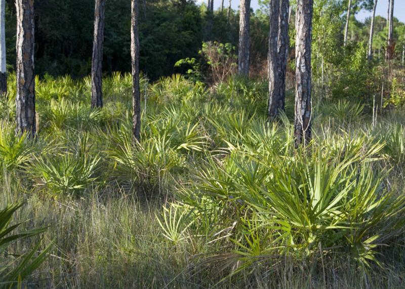 Saw Palmettos and Grass