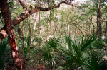 Saw Palmettos and Other Vegetation Along the Fort Caroline Nature Trail
