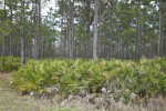 Saw Palmettos and Pine Trees at Colt Creek State Park