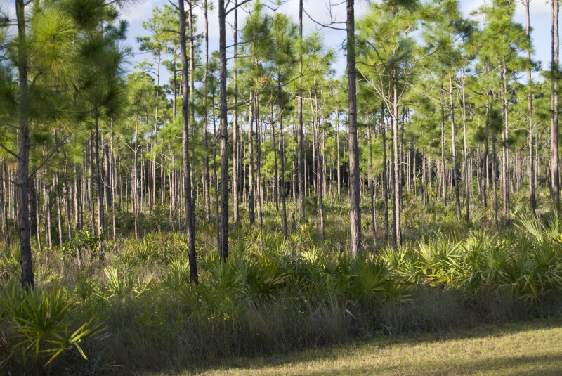 Saw Palmettos and Pine Trees