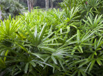 Saw Palmettos at the Kanapaha Botanical Gardens