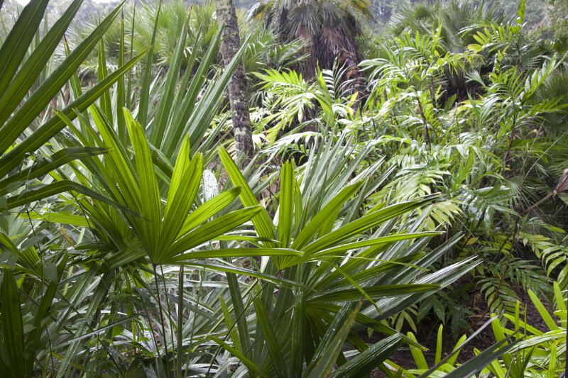 Saw Palmettos, Ferns, and Other Vegetation at the Kanapaha Botanical Gardens