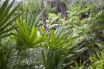 Saw Palmettos, Ferns, and Other Vegetation at the Kanapaha Botanical Gardens