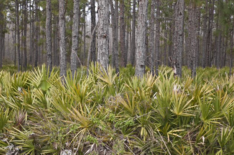 Saw Palmettos in Front of a Pine Forest at Colt Creek State Park