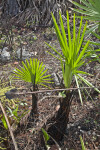 Saw Palmettos Regrowing