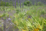 Saw Palmettos with Light-Green Leaves