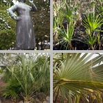 Saw Palmettos photographs
