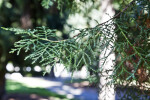 Sawara Cypress with Green Scale-Like Leaves