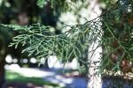 Sawara Cypress with Green Scale-Like Leaves