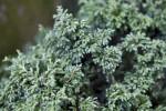 Sawara False Cypress Leaves Close-Up