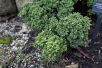 Sawara False Cypress Leaves