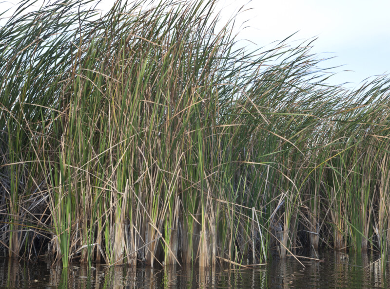 Sawgrass Blowing in the Wind at Halfway Creek in Everglades National Park