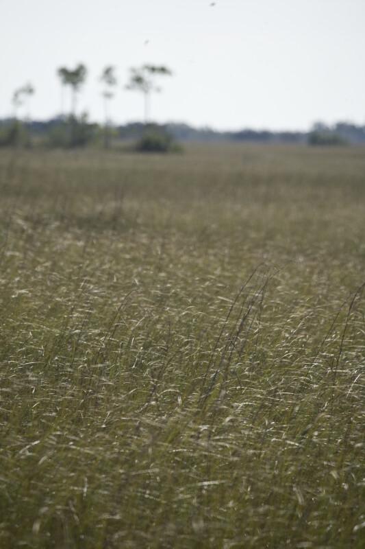 Sawgrass Detail