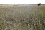Sawgrass Field at Anhinga Trail of Everglades National Park
