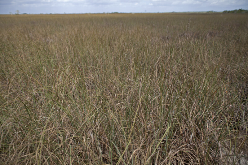 Sawgrass Growing at Pa-hay-okee Overlook of Everglades National Park