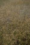 Sawgrass in Shallows