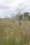 Sawgrass near Dwarf Bald Cypress