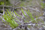 Scale-Like Leaves Extending from a Bald Cypress Branch