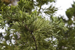 Scale-Like Leaves Extending from Branches of a Chinese Juniper
