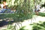 Scale-Like Leaves of a Sawara Cypress