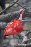 Scarlet Ibis Preening