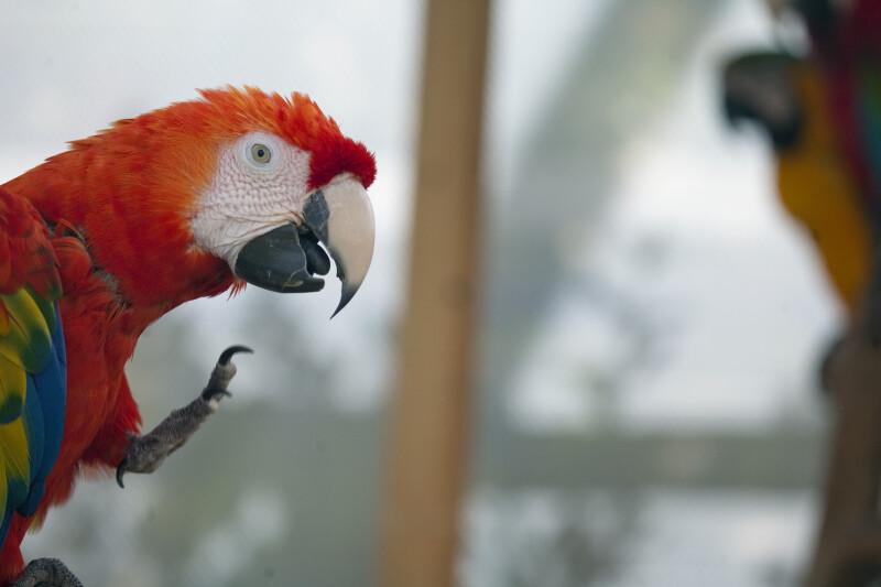 Scarlet Macaw, Beak Open