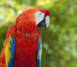 Scarlet Macaw Facing Right