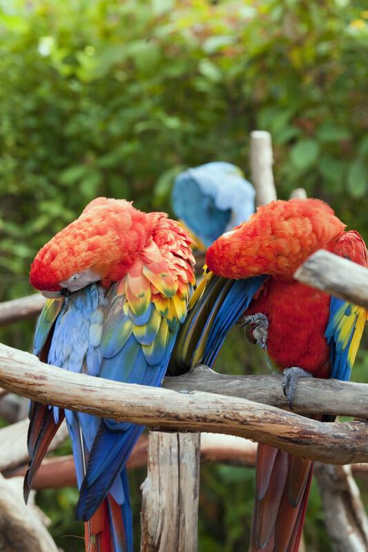 Scarlet Macaws Grooming
