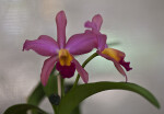 Scarlet Orchid