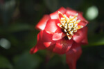 Scarlet Star Flower