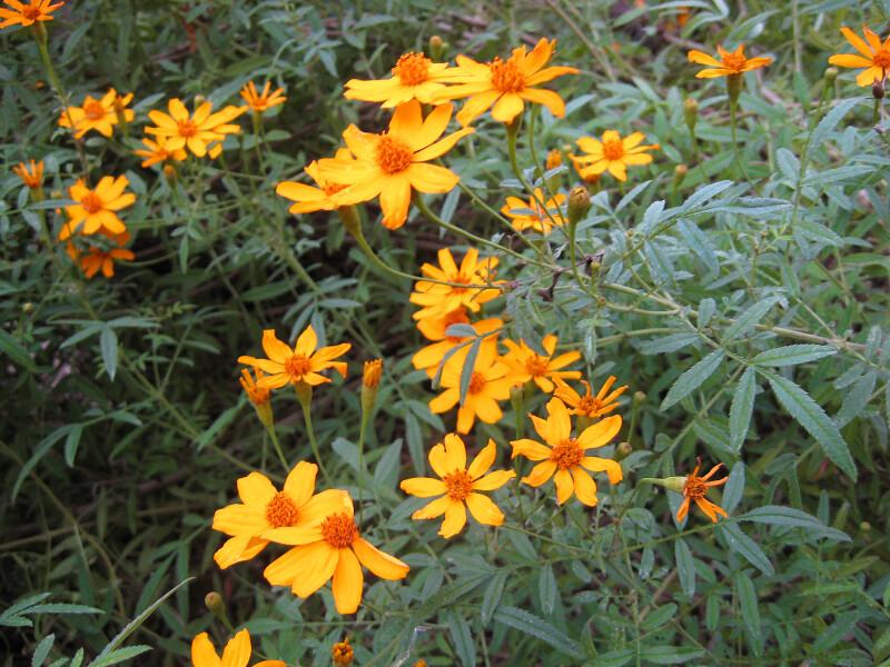 Scented Marigold