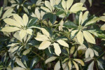 Schefflera arboricola Variegated Leaves
