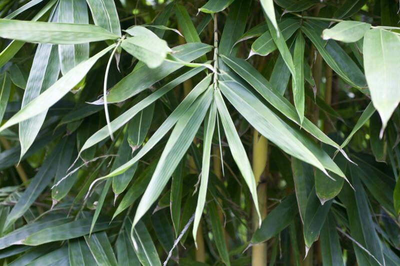 Schizostachyum Brachycladum Leaves