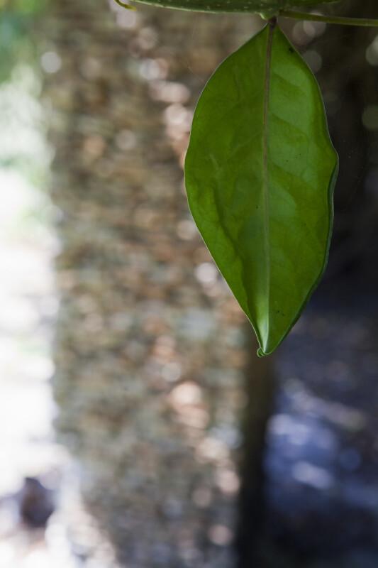 Schlegelia parasitica Leaf