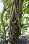 Schlegelia parasitica