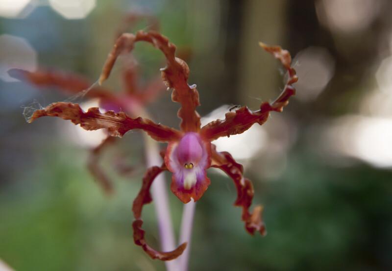 Schom. undulata  Orchid Flower