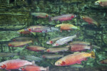 School of Greenback Cutthroat Trout