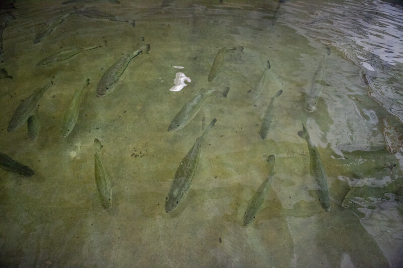 School of Largemouth Bass