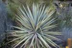 Schott's Yucca
