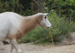 Scimitar Oryx Chewing on Piece of Food
