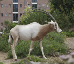 Scimitar Oryx Side View