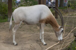 Scimitar Oryx Sniffing Dead Branch at the Artis Royal Zoo