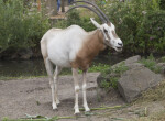 Scimitar Oryx Standing in its Enclosure at the Artis Royal Zoo