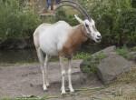 Scimitar Oryx Standing in its Enclosure at the Artis Royal Zoo