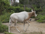 Scimitar Oryx Walking in its Enclosure at the Artis Royal Zoo